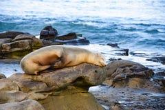 A Sea Lion Sleeps Peacefully on the Rocks in La Jolla, CA stock photo