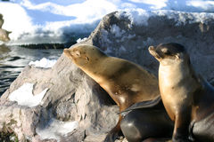Resting sea lions. Sea lions resting on a rock on a cold winter day stock photos