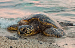 Resting Sea Turtle. A sea turtle rests on the beach during sunset Royalty Free Stock Image