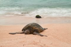 Resting Sea Turtle With Motion Blur Water Royalty Free Stock Images