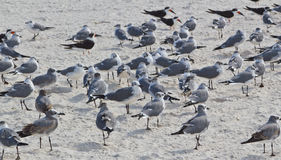 Resting Seabirds on the Beach Royalty Free Stock Image