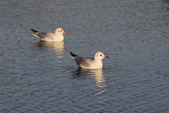 Resting seagull Royalty Free Stock Photography