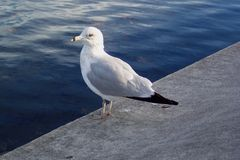Resting Seagull Royalty Free Stock Photos
