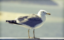Resting seagull rtistic retro styled picture Royalty Free Stock Images