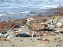Resting seagull on sea coast, Lithuania Royalty Free Stock Photo
