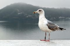 Resting Seagull Stock Image