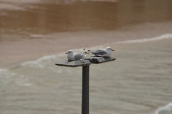 Resting Seagulls Royalty Free Stock Image