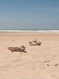 Resting seagulls Royalty Free Stock Photos