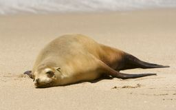 Resting seal on a beach Stock Photos