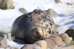 Resting seal. A seal resting on beach Royalty Free Stock Photo