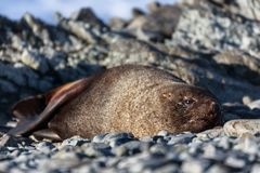 Resting seal on a beach at Half Moon Island. Antarctic