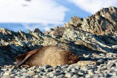 Resting seal on a beach at Half Moon Island, Antarctica stock images