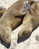 Resting Seals Royalty Free Stock Images