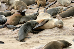 Resting seals. On the beach Stock Photos