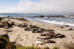 Resting seals Stock Photography