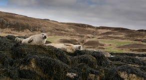 Resting seals Stock Photos