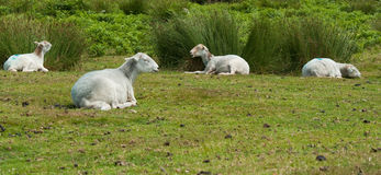 Resting Sheep Royalty Free Stock Photos