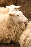 Resting sheep Stock Image