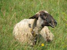 Resting Sheep  Royalty Free Stock Image