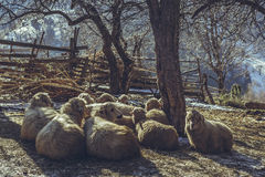 Resting sheep Stock Photos