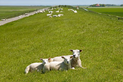 Resting sheep on Frisian seawall on the North Sea Stock Images