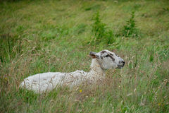 A sheep resting in a grass meadow Stock Image
