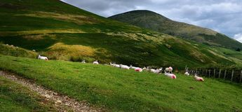 Resting sheep under the fells. Seated sheep below Lonscale Fell Royalty Free Stock Photos