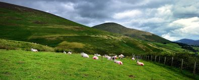 Resting sheep under the fells. Seated sheep below Lonscale Fell Stock Photos