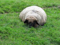 Resting sheep Royalty Free Stock Photo