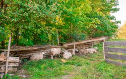 Resting Sheeps Searching for Shadow. Stock Photo