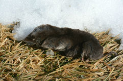 Resting Short-Tail Shrew Royalty Free Stock Images