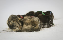 Resting sled dogs Stock Photos