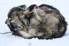 Resting sled dogs Royalty Free Stock Image