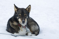 Resting sledge dog Stock Image