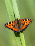 Resting Small tortoiseshell Stock Photos