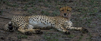 Resting after a snack. Male cheetah resting after eating prey Stock Image