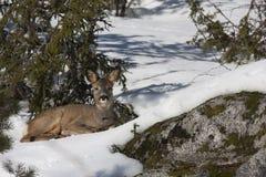 Resting in snow Stock Photo