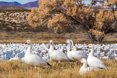 Resting Snow Geese Royalty Free Stock Photo