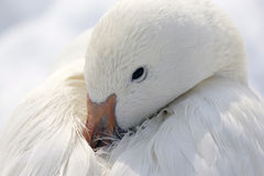 Resting Snow Goose Royalty Free Stock Images