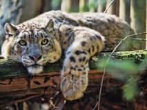 Resting Snow Leopard, Uncia uncia. One Resting Snow Leopard, Uncia uncia Royalty Free Stock Photo