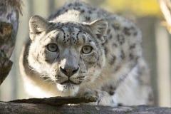 Resting snow leopard, Uncia uncia, portrait. One resting snow leopard, Uncia uncia, portrait Royalty Free Stock Photos