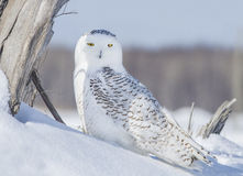 Resting Snowy Owl Stock Photography