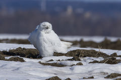 Resting Snowy Owl Stock Image