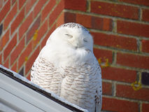 Resting snowy owl smiling in sunlight. Stock Image