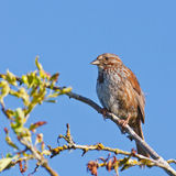 Resting Song Sparrow. On a branch with the light of the morning sun royalty free stock photo