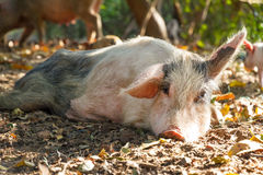 Resting sow Royalty Free Stock Image