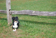 Resting By the Split Rail Fence. Small mixed breed dog rests on the grass under a split rail fence Stock Photo