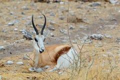 Resting Springbok Antidorcas marsupialis Royalty Free Stock Photography