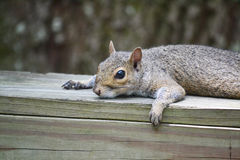 Resting squirrel Royalty Free Stock Image