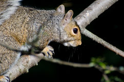 A Resting Squirrel Royalty Free Stock Photography